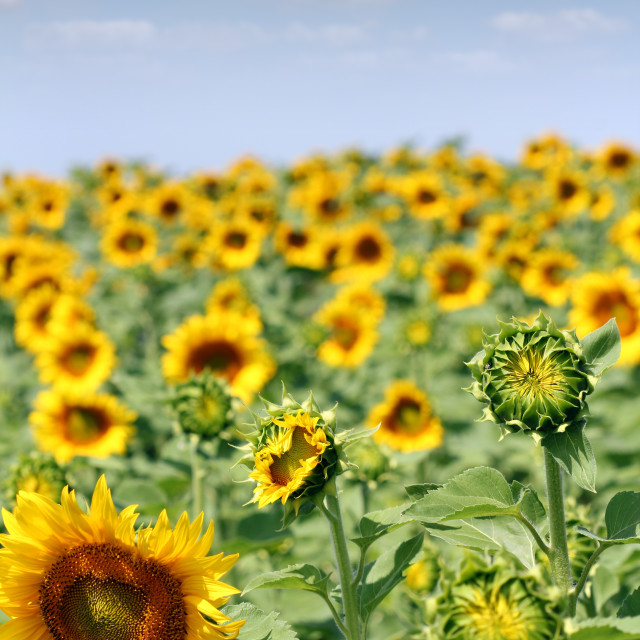 """bright sunflower field agriculture industry"" stock image"