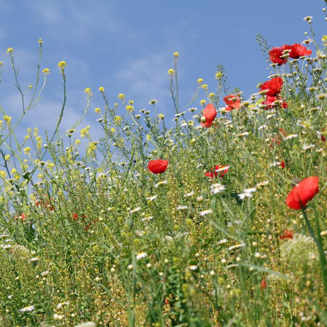 """""""spring season wild flowers meadow"""" stock image"""