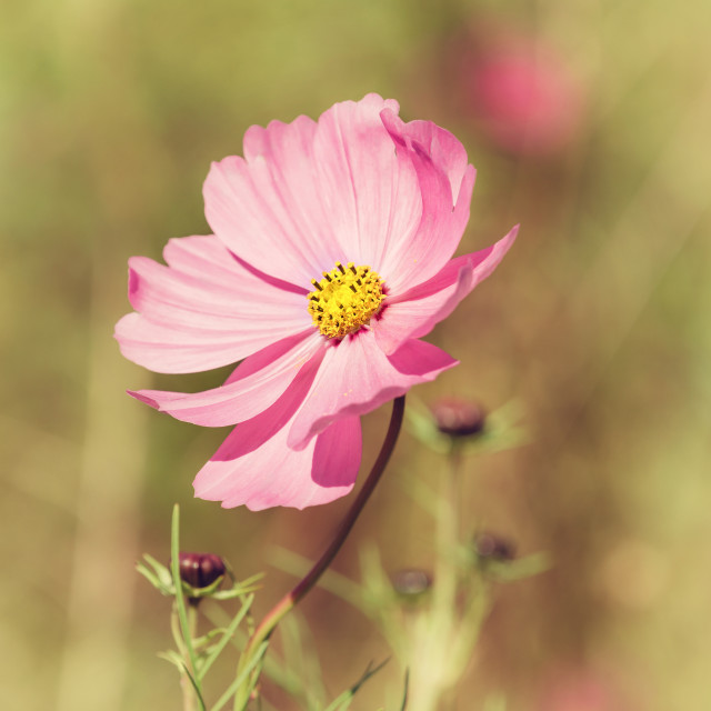 """""""Pink Cosmos flower"""" stock image"""