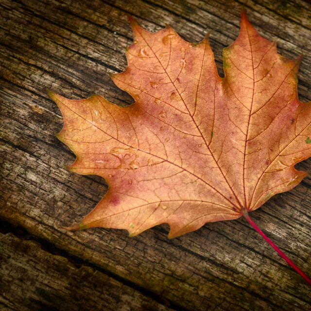 """Autumn Leaf"" stock image"