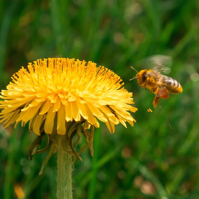"""""""Bee on dandelion"""" stock image"""