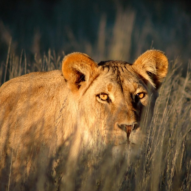 """""""Lion; hunting lioness; Africa; African lion"""" stock image"""