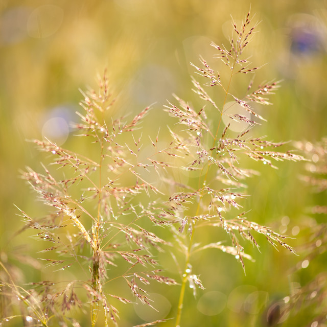 """Grass closeup after the rain"" stock image"