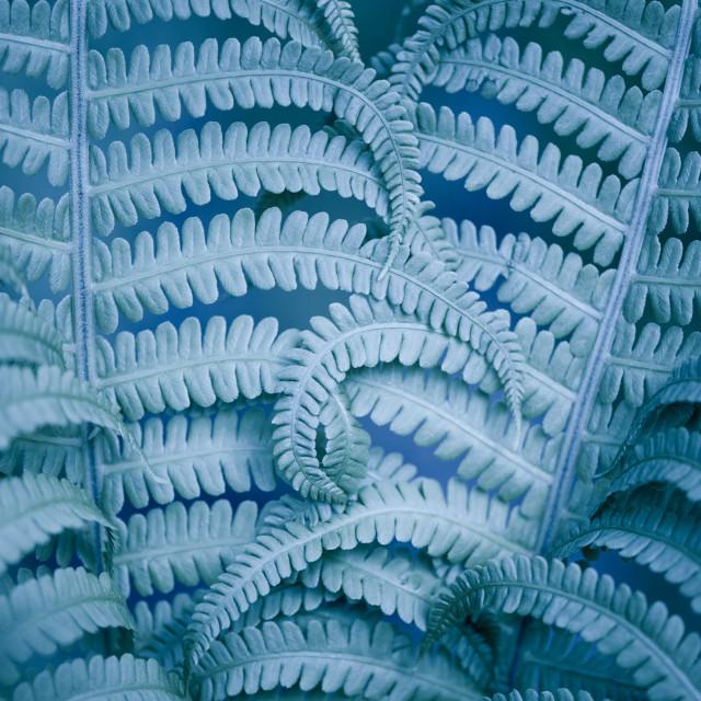 """""""Curled fern blue foliage macro"""" stock image"""