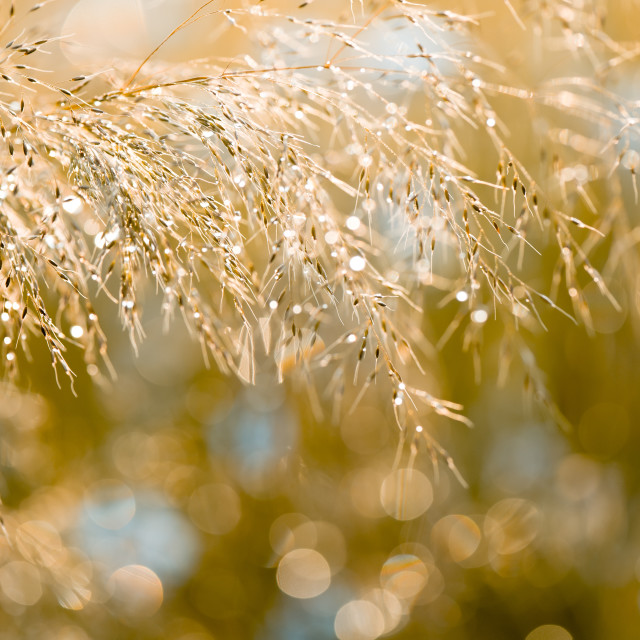 """Grass inflorescence shining"" stock image"