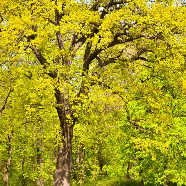 """Large spring oak tree"" stock image"