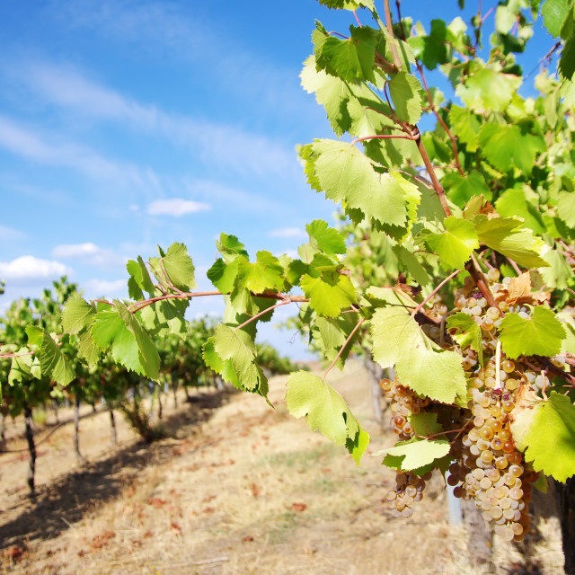 """""""Vines at south of Portugal"""" stock image"""