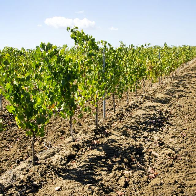 """vineyars in Alentejo, south of Portugal"" stock image"