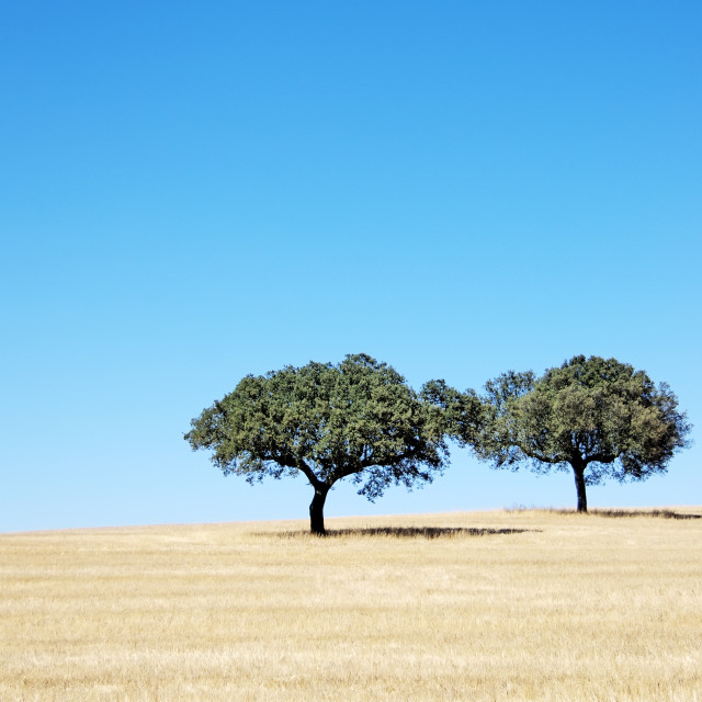 """Oak trees, Alentejo , Portugal"" stock image"