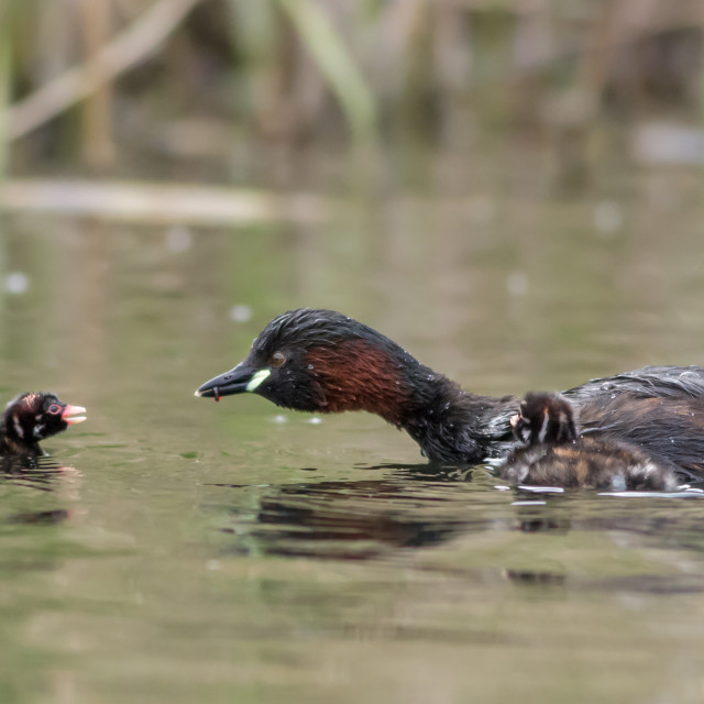 """Little Grebe family"" stock image"