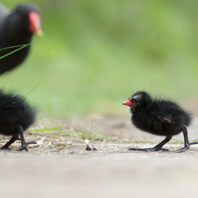 """Moorhen with young family"" stock image"