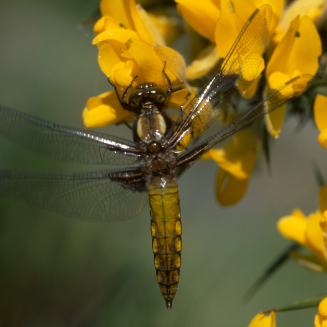 """""""Broad-bodied Chaser, immature male"""" stock image"""