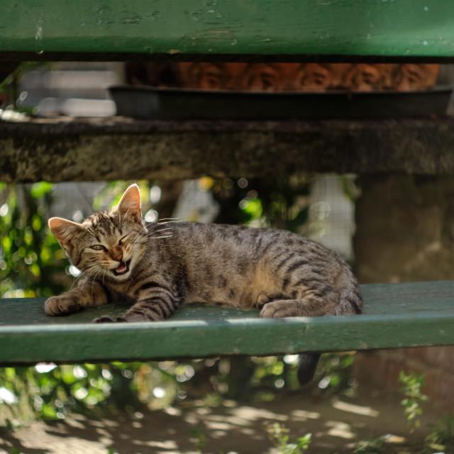 """""""Cat Yawning"""" stock image"""
