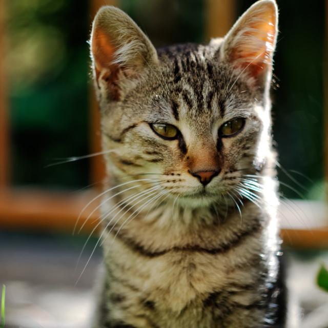 """Cat in Posing"" stock image"