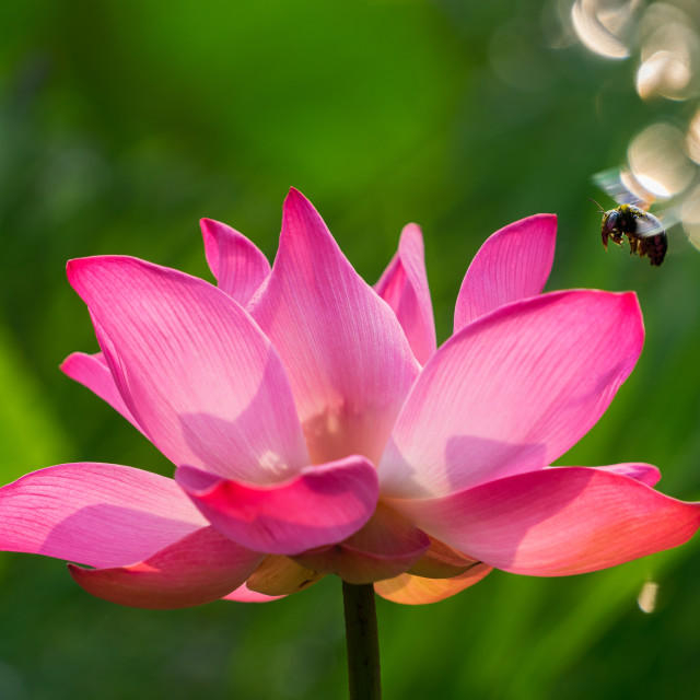 """Lotus & Bee"" stock image"