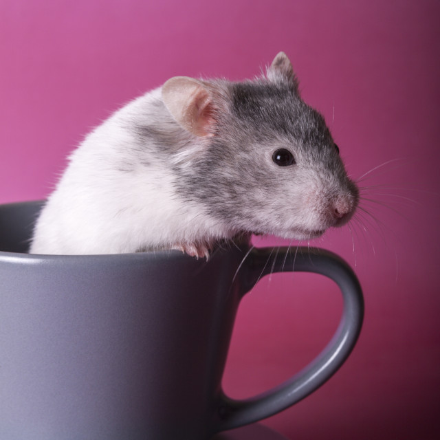 """Hamster in a cup"" stock image"