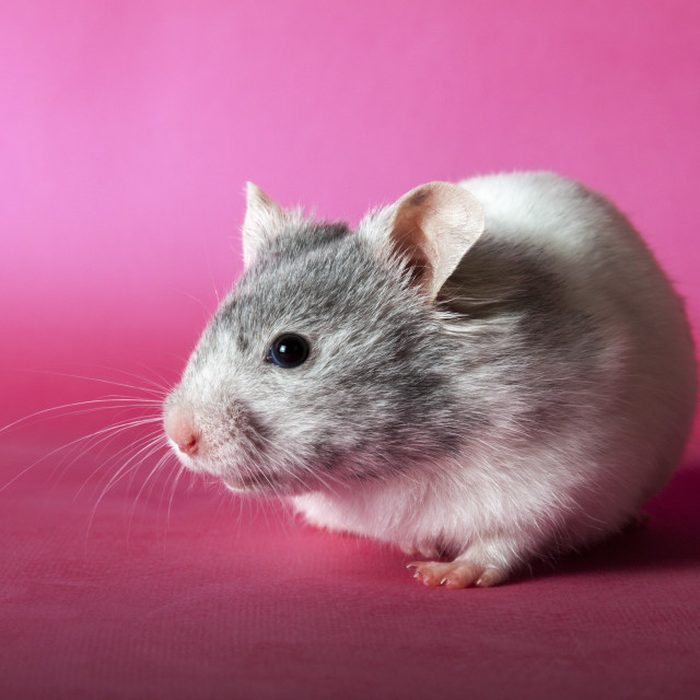 """Hamster"" stock image"