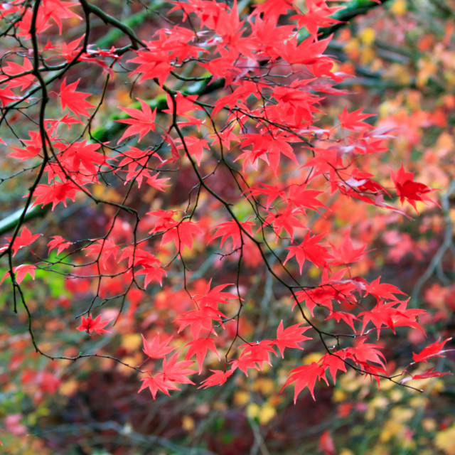 """""""The vivid reds of the Acer tree in autumn."""" stock image"""