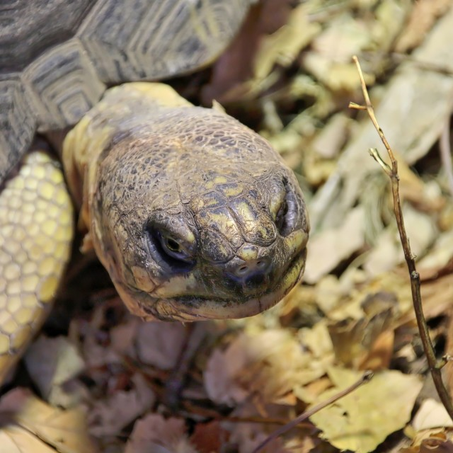 """Giant Tortoise"" stock image"
