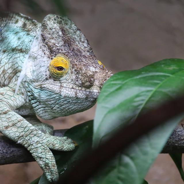 """""""Chameleon"""" stock image"""