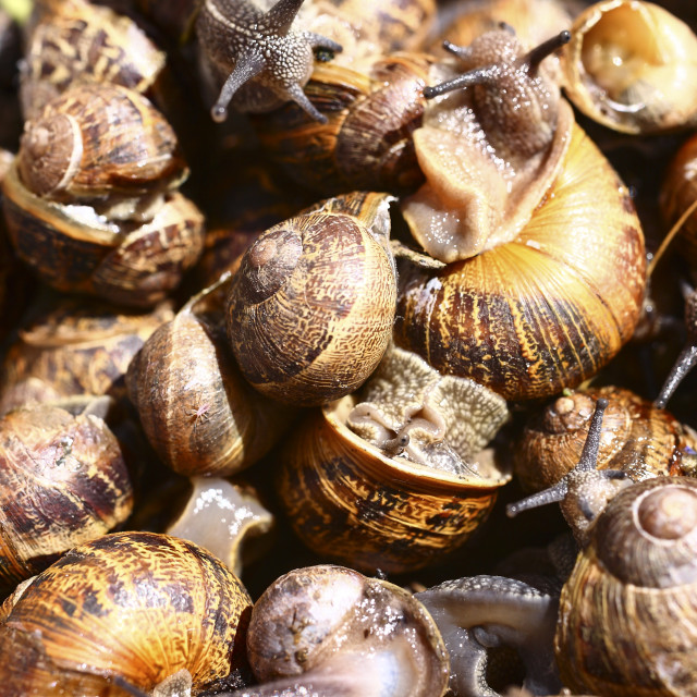 """Garden snails"" stock image"