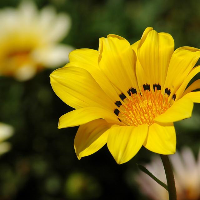 """Yellow and white flower garden"" stock image"