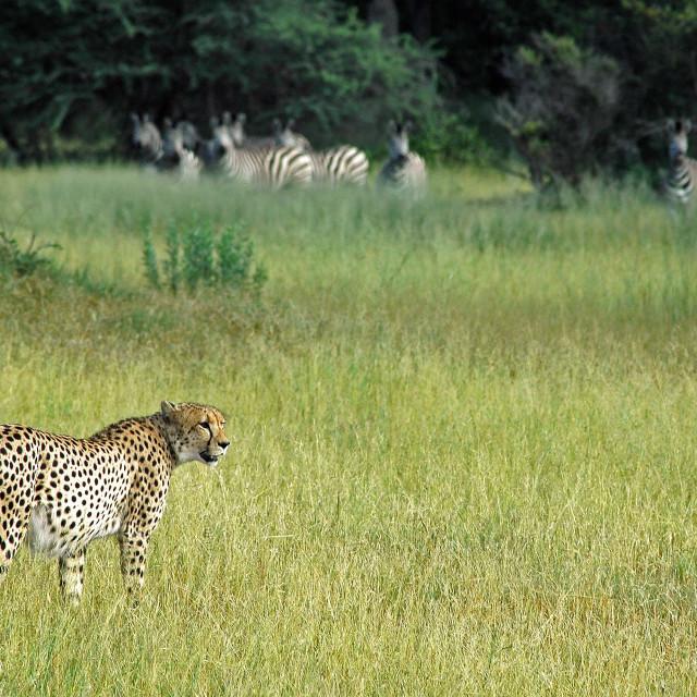 """Hunting Cheeta"" stock image"