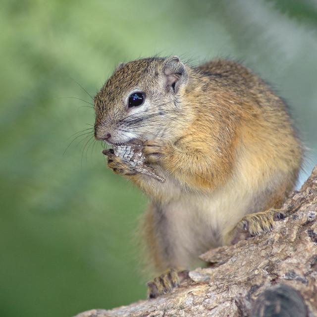 """Tree Squirrel"" stock image"
