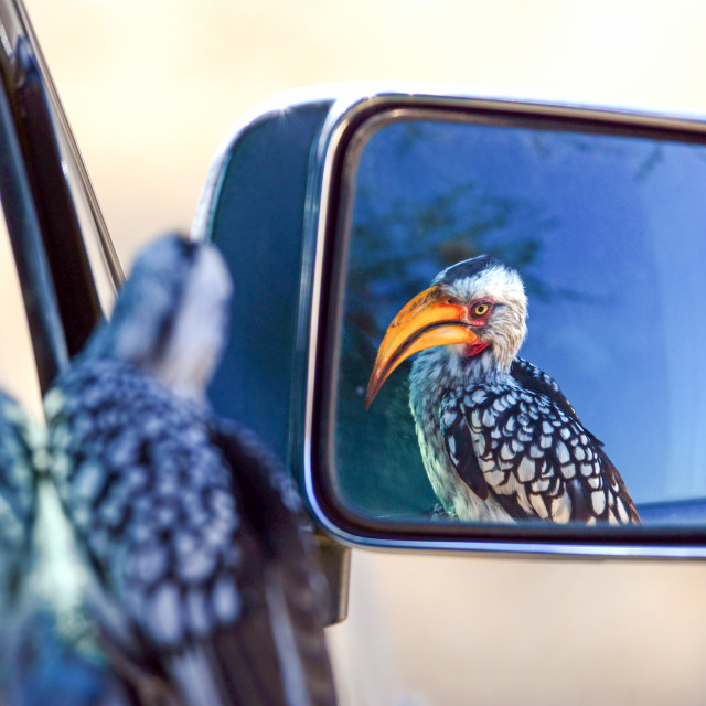 """Hornbill in the mirror"" stock image"