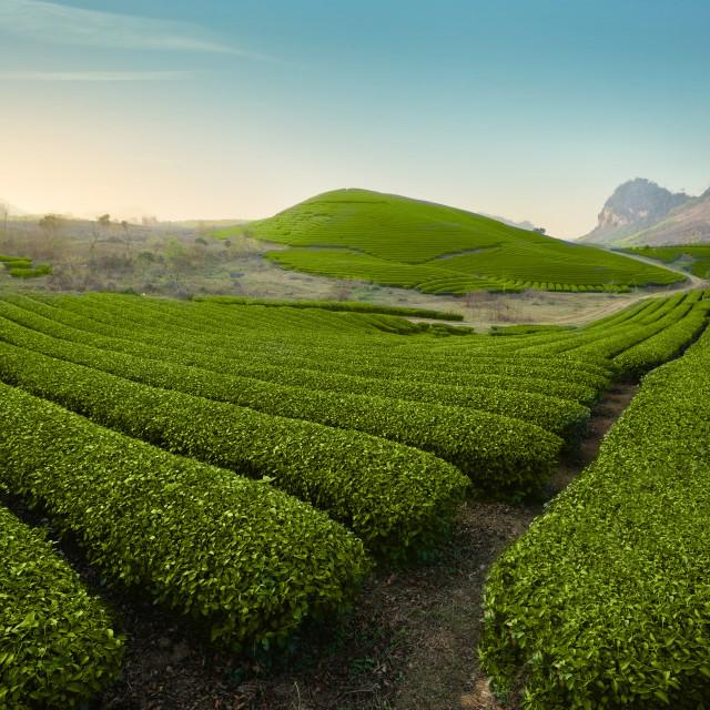 """Tea Hills"" stock image"