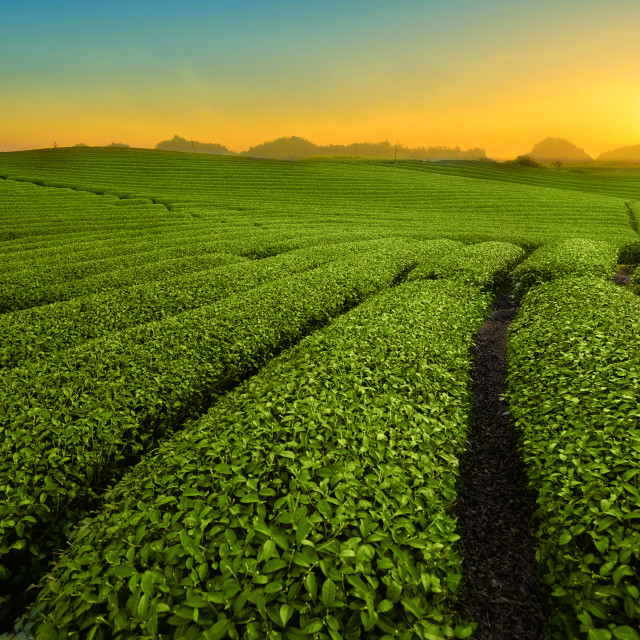 """Tea Hills"" stock image"