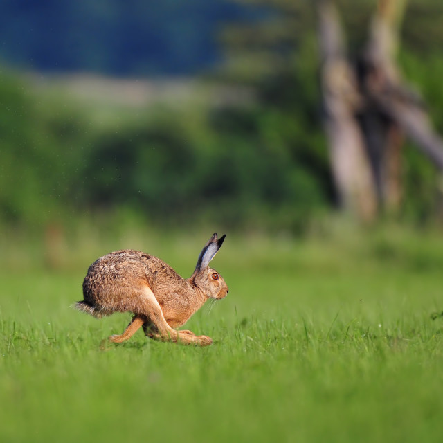"""Brown hare running"" stock image"