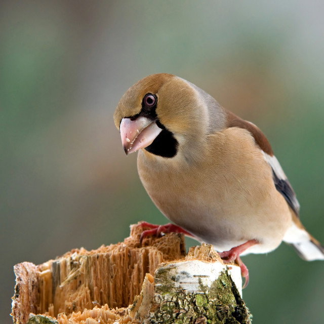 """""""Hawfinch"""" stock image"""