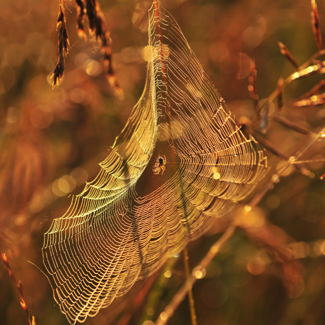 """Spider on spider web"" stock image"