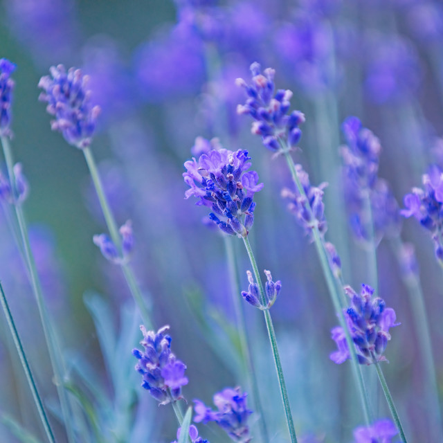 """""""Nature backgrounds - lavender"""" stock image"""