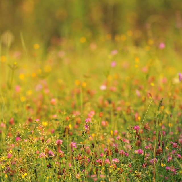 """""""Nature background - meadow at sunrise"""" stock image"""