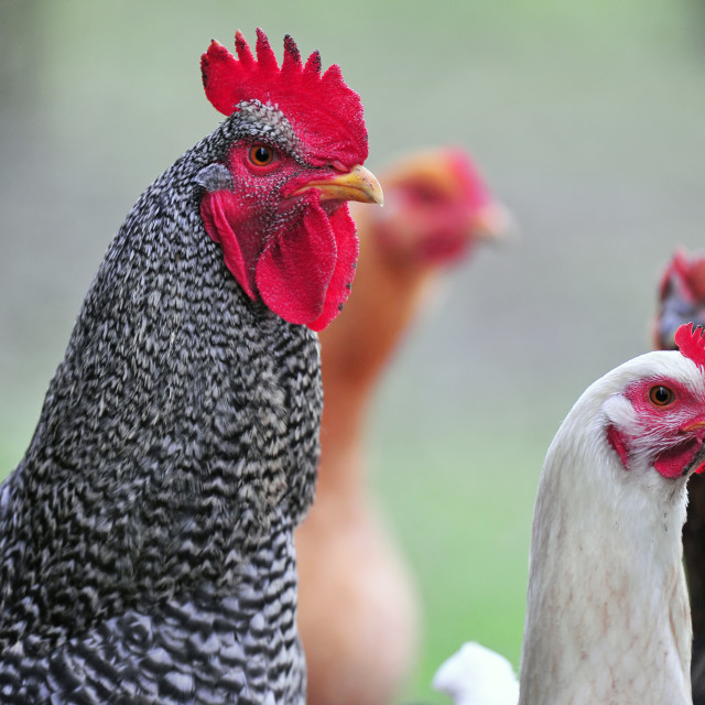 """Cock and his hens"" stock image"