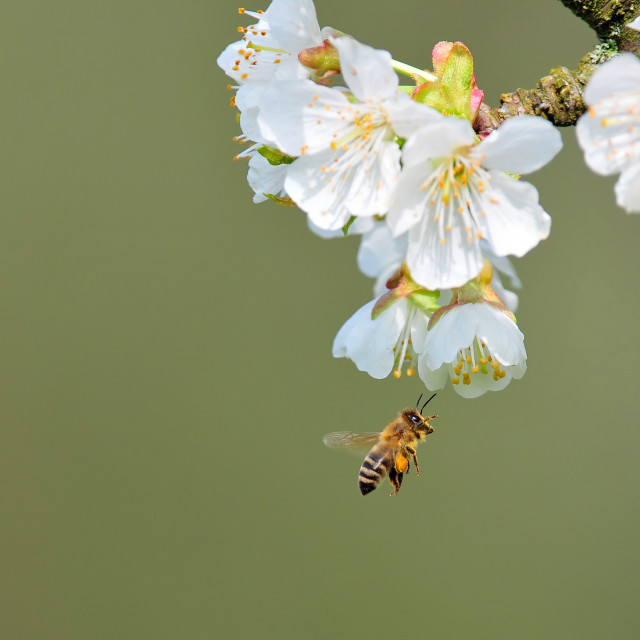 """""""Bee collecting pollen"""" stock image"""