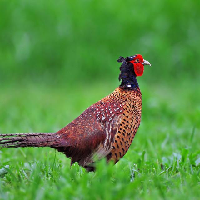 """""""Common pheasant"""" stock image"""