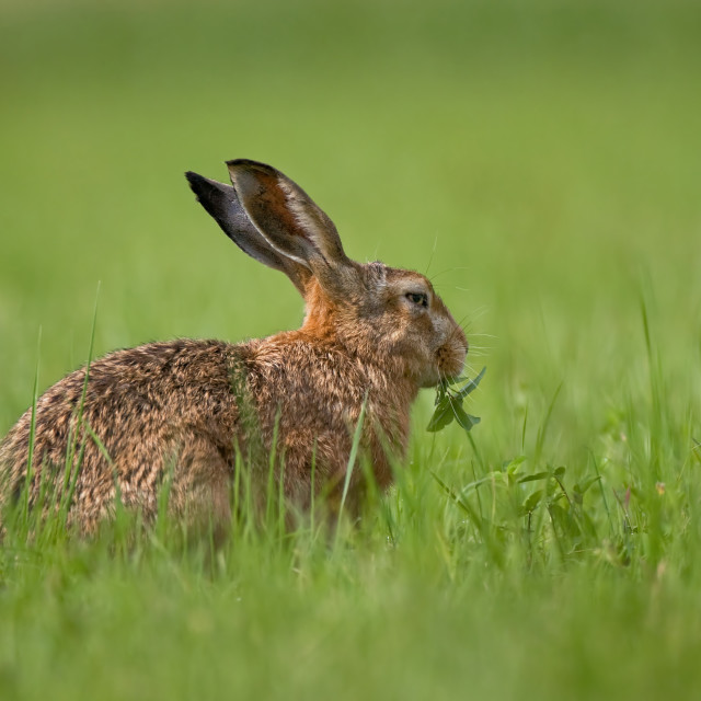 """""""Brown hare eating weed"""" stock image"""