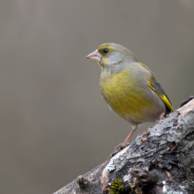 """""""Greenfinch"""" stock image"""