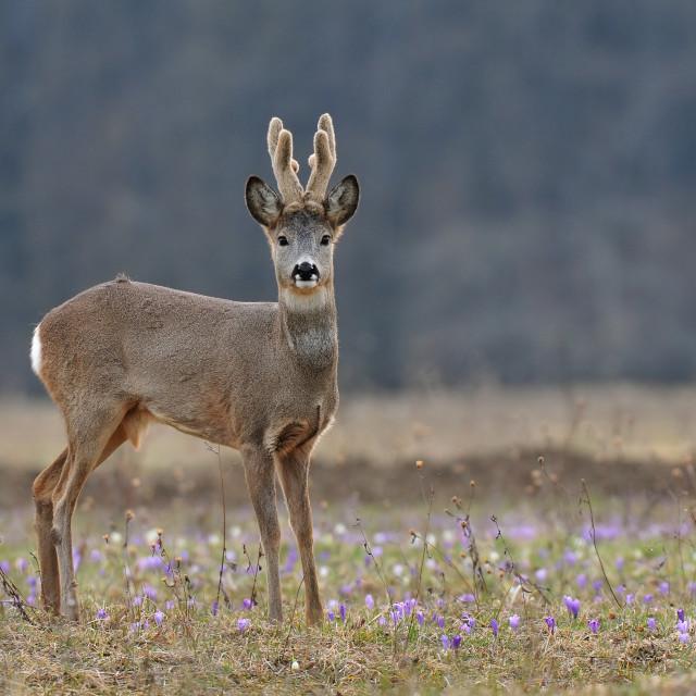"""""""Roe deer"""" stock image"""