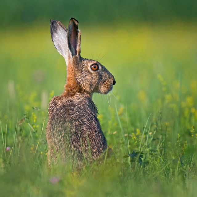 """""""Brown hare"""" stock image"""