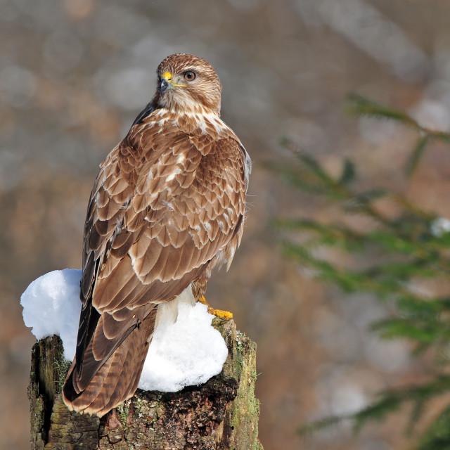 """Commmon buzzard"" stock image"