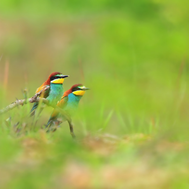 """Bee eaters"" stock image"