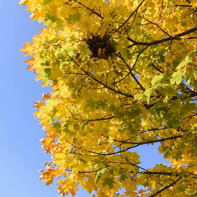 """""""Autumn Sycamore Leaves"""" stock image"""