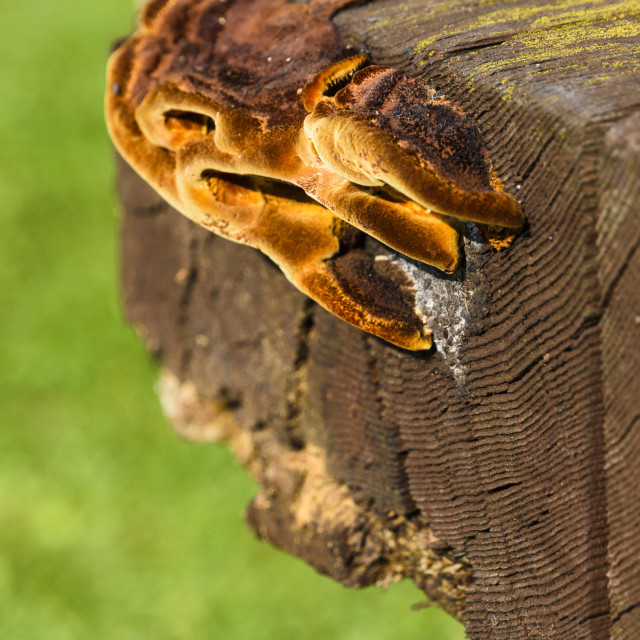"""""""Fungi growing on the edge of a woden bench"""" stock image"""