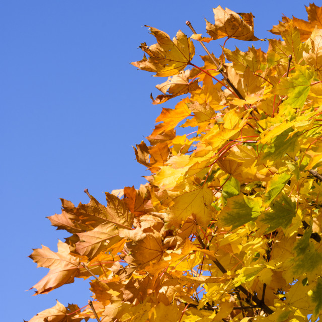 """""""Golden sycamore Leaves"""" stock image"""