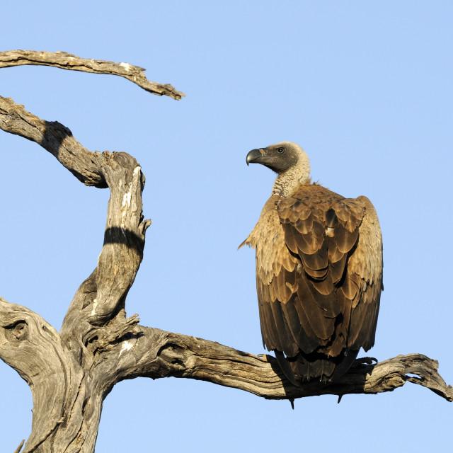 """Vulture in dead tree"" stock image"