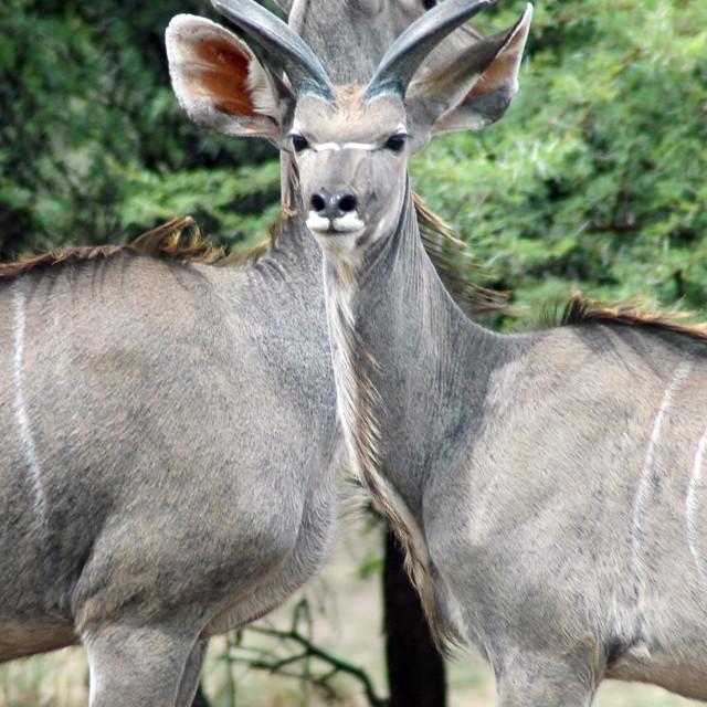 """Kudu"" stock image"